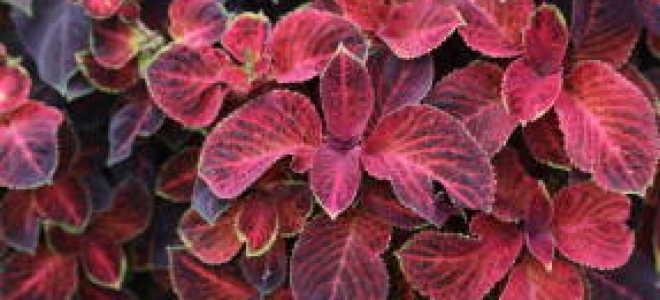 Колеус Блюма (Плектрантус скутелларивидный, К. гибридный, Соленостемон)
