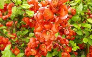 Айва японская: посадка, уход и выращивание в Подмосковье в открытом грунте