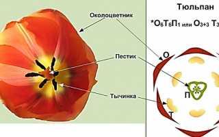 5 видов степного тюльпана: описание, названия и фото