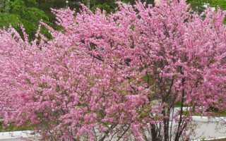 Как растет миндаль: как выглядит дерево, как цветет