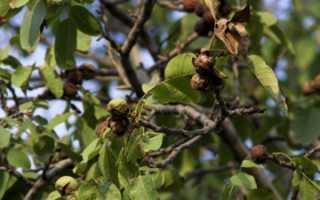 Почва для ореха грецкого