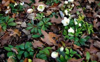 Морозник или рождественская роза: посадка и уход, выращивание из семян, виды