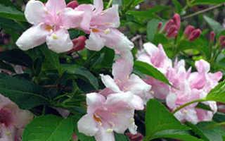 Вейгела: посадка и уход в открытом грунте, сорта, размножение, цветы