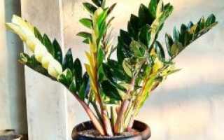 Цветок Замиокулькас: какого ухода требует цветок в домашних условиях