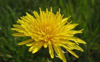 Одуванчик: это трава, цветок или кустарник?