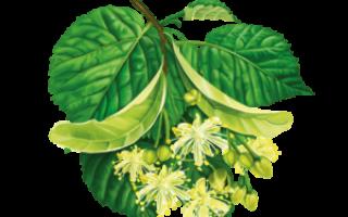 Цветки липы: полезные свойства, применение, чем полезны, отвар, настой