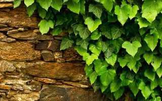 Плющ садовый вечнозеленый: посадка и уход, обрезка, подготовка к зиме
