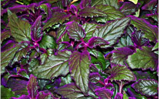 6 видов комнатных цветков с фиолетовыми листьями