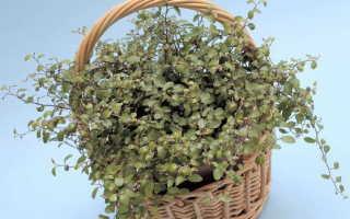 Мюленбекия – Muehlenbeckia: фото, условия выращивания, уход и размножение