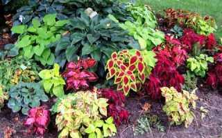 Колеус: посадка и уход в открытом грунте, популярные сорта в саду