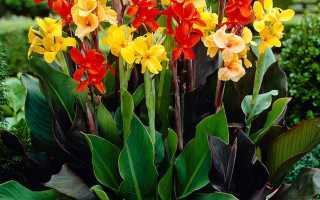 Канны: уход и посадка цветка в открытом грунте, выращивание в саду