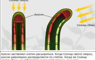 В естественной среде листья поворачиваются вслед за солнцем, как подсолнечники