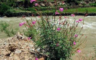 Выращивание инкарвиллеи из семян, посев на рассаду и в грунт