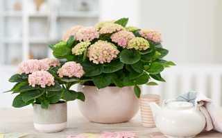 Гортензия комнатная: уход и выращивание в домашних условиях, подготовка к зиме