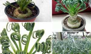 Какое растение имеет спиральный цветок?