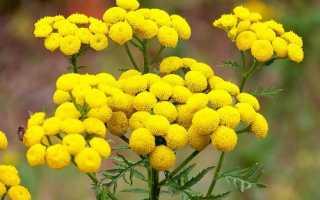 Пижма: лечебные свойства и противопоказания цветков и травы, лекарственный свойства