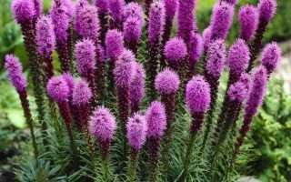 Лиатрис: посадка и уход в открытом грунте, выращивание из семян