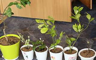 Пересадка цитрусовых растений: что делать, если завелись черви