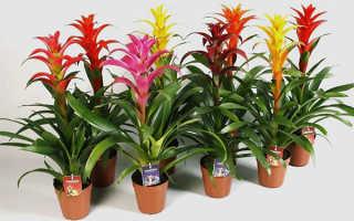 Цветок гузмания: уход и пересадка в домашних условиях, размножение