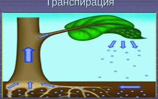 Транспирация у растений – суточный ход, интенсивность, видео