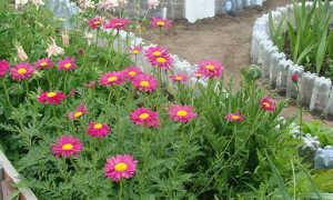 Пиретрум девичий: выращивание из семян, уход, пересадка и размножение