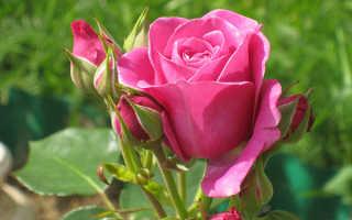 10 самых ароматных и душистых сортов роз: фото и описание
