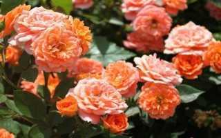 22 лучших вида и сорта роз: маленькие, высокие, оранжевые, жёлтые