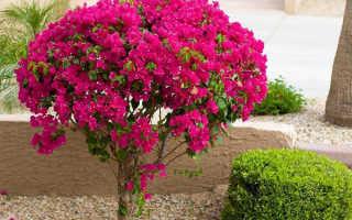 Бугенвиллия: посадка, уход и выращивание из семян в домашних условиях