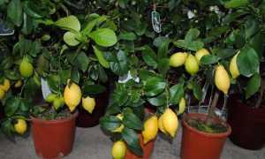 Почему скручиваются листья у лимона и что делать?