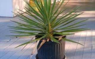 Болезни пальмы в домашних условиях – пятна, плесень, видео