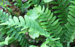 Полиподиум – Polypodium: фото, условия выращивания, уход и размножение