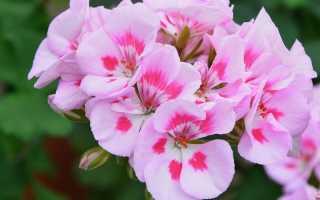 Королевская пеларгония: уход в домашних условиях, цветение, размножение
