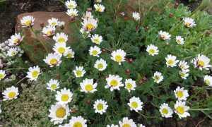 20 цветов похожих на ромашку: как называются и как выглядят, описание