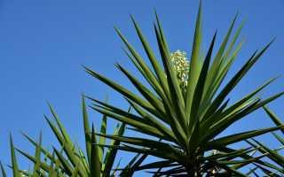 Юкка: родина растения, уход в домашних условиях, как цветет, виды и описание