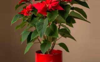 Цветок рождественская звезда или пуансеттия: уход и размножение