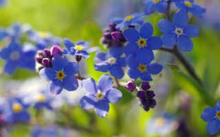 Цветы незабудки: описание, где растёт цветок, в какой природной зоне