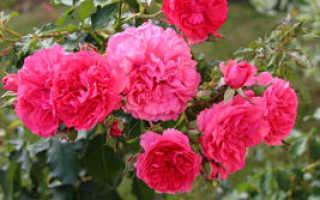 Плетистая роза Розариум Ютерсен: описание сорта, посадка и уход