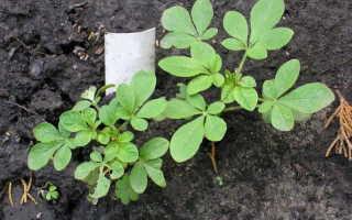 Клеома: когда сажать, выращивание из семян, посадка и уход в открытом грунте