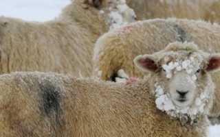Подготовка отары овец к зиме в овцеводстве, кормовая база, загоны, видео