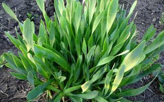 Лук слизун: выращивание и уход, полезные свойства, рецепты
