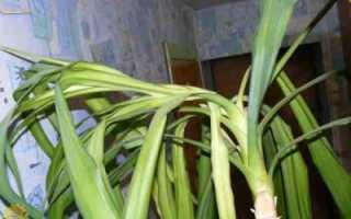 Юкка: уход в домашних условиях, полив, почему гибнет, размножение