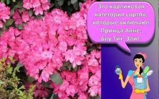 Азалия садовая: посадка и уход в открытом грунте, выращивание