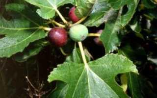Фикус карика, инжир: фото, условия выращивания, уход и размножение