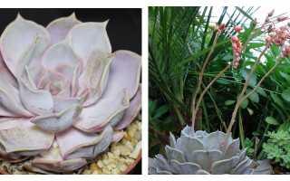 Эхеверия горбатоцветковая: описание и фото