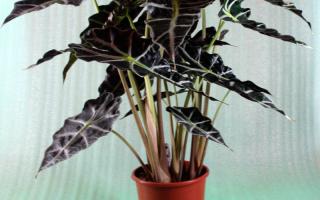 Алоказия Амазоника Полли – уход в домашних условиях, фото, видео