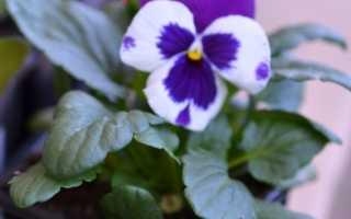 Анютины Глазки: выращивание виолы из семян