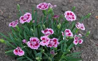 7 сортов садовой многолетней гвоздики: красная, кустовая, перистая, низкорослая