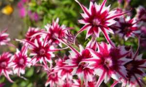 Флокс друммонда: выращивание из семян, болезни и вредители