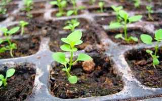 Петуния: уход и выращивание в домашних условиях, посадка