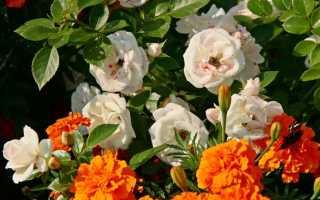 Опрыскивание и обработка роз железным купоросом осенью